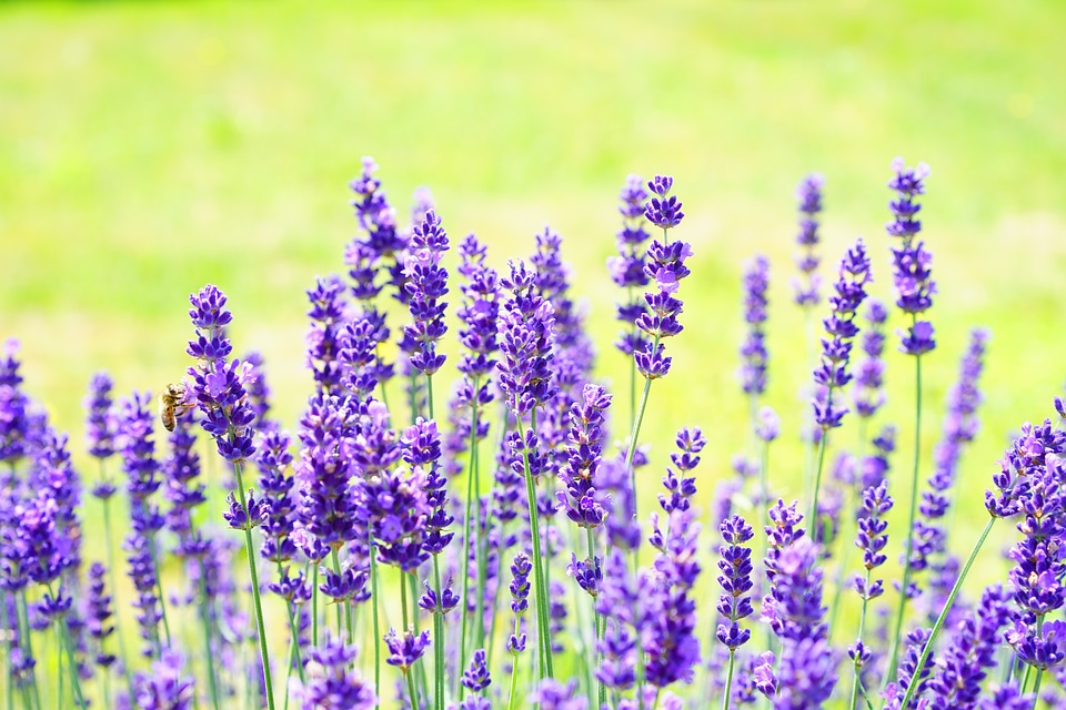 Lavender in Beauty Care. Top Uses, Effects, Benefits